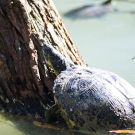 Climbing the Corporate Ladder by Susan Myers - Animals Reptiles ( nature, hopelands gardens, lake, aiken, turtle, animal )