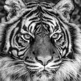Daseep by Garry Chisholm - Black & White Animals ( garry chisholm, carnivore, nature, dudley, sumatran tiger )