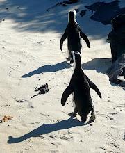 """Photo: """"Was heißt hier 'Gänsemarsch'? Wir sind Pinguine!"""""""