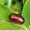 European chafer beetles