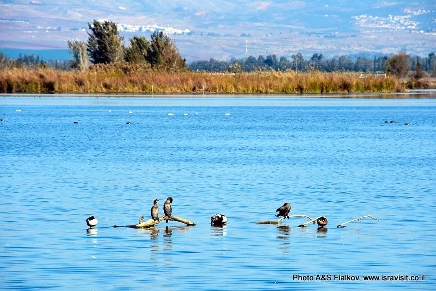 Утки на озере Хула в Израиле.