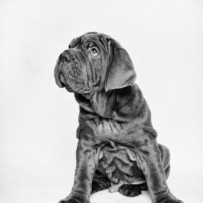 Neapolitan Mastiff Puppy 2 by Dan Horton-Szar ARPS - Black & White Animals ( monochrome, black and white, pet, mastiff, puppy, dog,  )