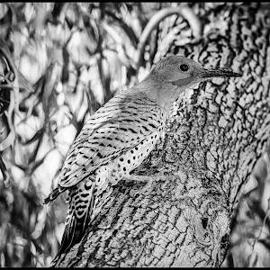 Gila Woodpecker-12.jpg