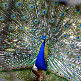 peacock dancing by Parvesh Rana - Instagram & Mobile Other