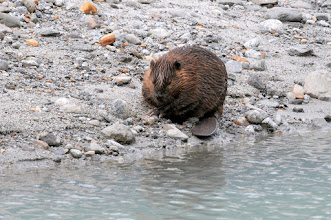 Photo: Beaver caught in salt water near Mendenhall glacier