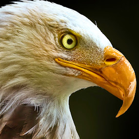 Royal Look by Sushmita Sadhukhan - Animals Birds ( milwuakee zoo, birds portrait, bald eagle, pwctaggedbirds, looking around, bird show )