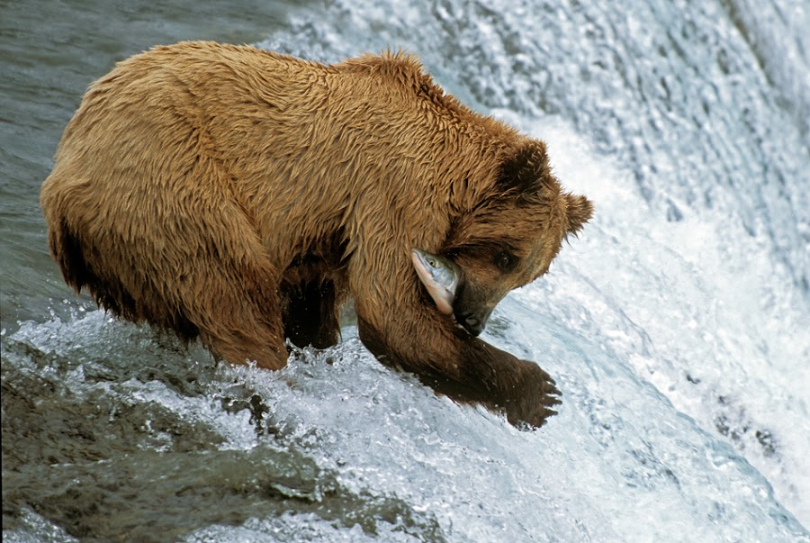 Fatal Embrace by Harry Eggens - Animals Other Mammals ( water, grizzly, brooks river, fish, alaska, brooks falls, ursus arctos, brooks camp, run, brown bear, running, katmai national park, cascade, fall, fishes, salmon, summer, harry eggens, nikon, summertime, hungry, knp, river )