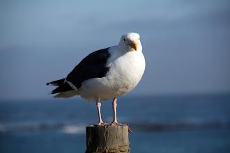 Photo: fat seagull