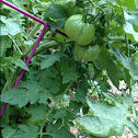 Overgrown Tomato mix