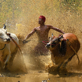 the Greater Spirit by Achmad Tibyani - Sports & Fitness Other Sports ( bull race, tanah datar, indonesia, spirit, pacu jawi, west sumatera )