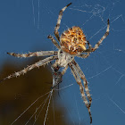 Wheel Weaver Spider