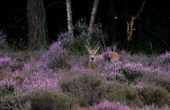Photo: Natuur Hert tussen de heidestruiken. Foto: Dick Dordrecht.