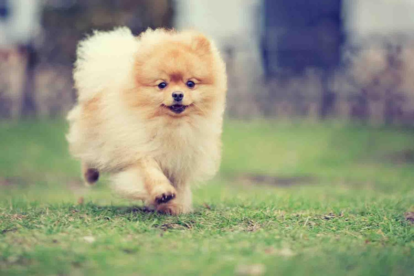 Dog Wallpaper pomeranian dog wallpaper - android apps on google play