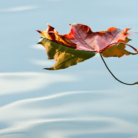 Adrift by Pascal Bénard - Landscapes Waterscapes ( water, reflection, leaf, adrift, automn )