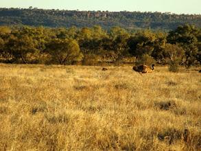 Photo: Noch mehr Emus ziehen gen Westen