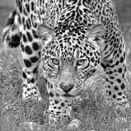 by Judy Rosanno - Black & White Animals ( spring, march 2018, san antonio zoo )