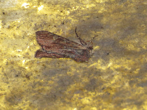 Photo: 26 Jun 13 Priorslee Avenue tunnel: This moth was resting on one of the few functioning lights in the Priorslee Avenue tunnel: it is the rather unusual dark form of Clouded-bordered Brindle (Apamea crenata) which is a new moth for me. (Ed Wilson)
