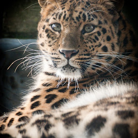 Amur Leopard by Chris Boulton - Animals Other Mammals ( cats, big cat, cat, nature, wildlife, leopards, amur, mammal, leopard, animal )