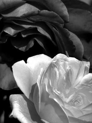 Two roses di andreamazza