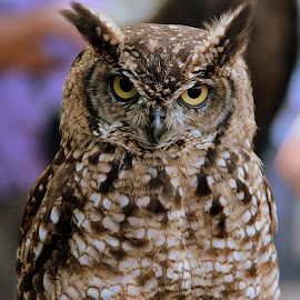 Eye contact by Nahid Sultana - Novices Only Wildlife ( nature, owl, travel, birds, close-up )