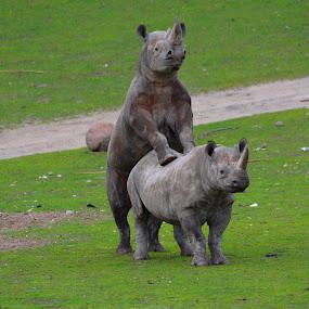 Black Rhinos Mating by Steen Hovmand Lassen - Animals Other Mammals ( mammals, savannah, nature, species, secure, wildlife, africa, rhinos, mating, animal,  )