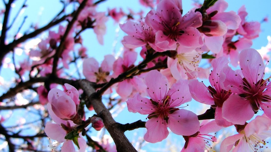 Blossom Tree by Samantha Faith - Novices Only Flowers & Plants ( tree, branch, bloom, pink, blossom, flower )
