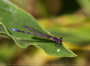 Photo: Continuing my posts from last weekend, a Variable Dancer damselfly at Bottomless Lakes State Park, NM. Note the lovely colors, especially the violet and blue on the end segments.  [Am I the only one having problems with G+'s automatic tagging of photos added to an album? I clicked the 'x' to remove Grass Tuesday from the tags, but still it showed up. Is it me or G+?]  +BugsEverydayand an early +Buggy Friday #LeavesOnThursday curated by +Ray Bilcliffand +Marilou Aballe #odonata