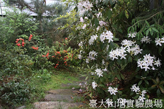 Photo: 拍攝地點: 梅峰-蘭園 拍攝植物: 西施花 拍攝日期:2012_05_01_mfbear