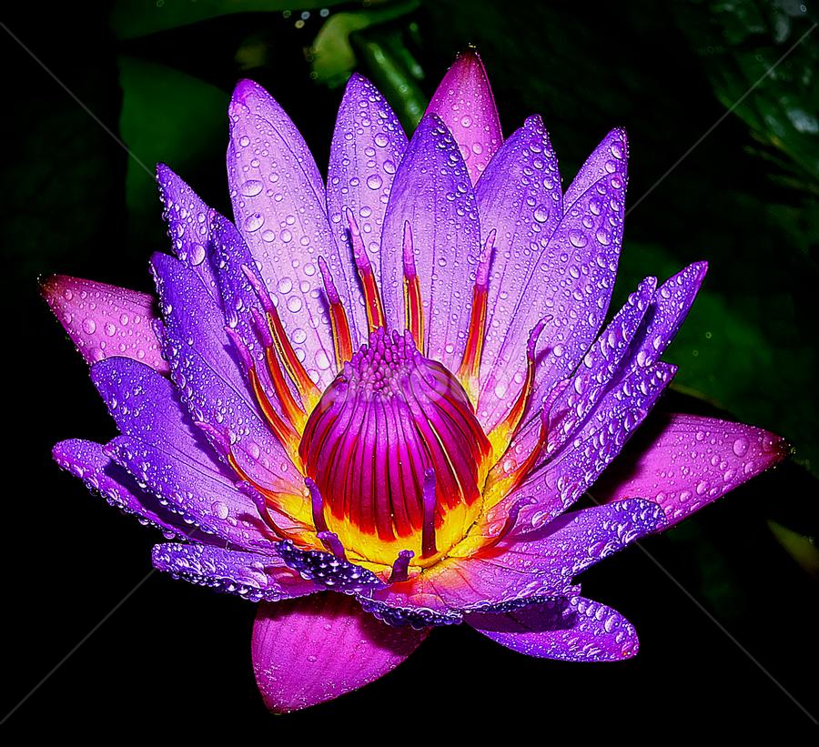 lotus 6 by Hafiz Ursa - Nature Up Close Gardens & Produce ( water, water drops, purple, purple lotus, beautiful lotus flower, yellow, 50.0mm, lotus, red, nikon d3100, single flower, nikon, blue lotus )