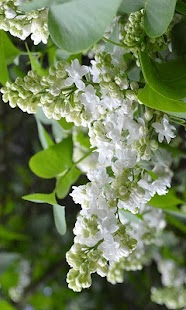 Lilacs - náhled