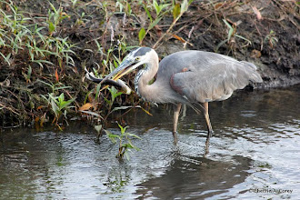 Photo: Great blue heron with fish
