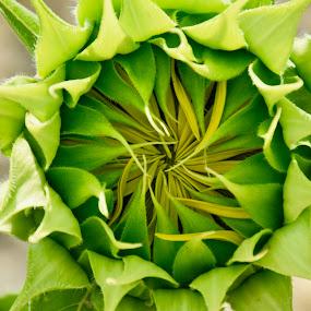 by Simona Susino - Flowers Single Flower (  )