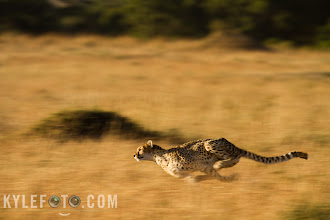 Photo: Mother cheetah speeding as fast as she could towards a gazelle, kept the shutterspeed slow intentinally and panned for a sense of motion. The gazelle got away... this time.