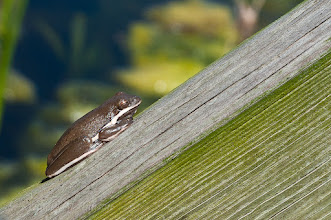Photo: Frog at Jones Lake, Aransus NWR