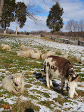 Photo: Brown and white donkey and sheep in the snow at Carriage Hill Metropark in Dayton, Ohio.