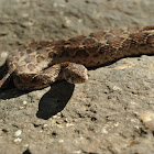 saw scaled viper