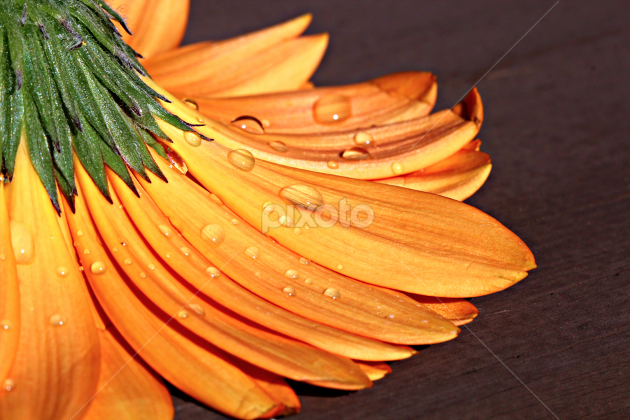by Dipali S - Nature Up Close Flowers - 2011-2013 ( water, orange, www.dipalis.com, drops, gerbera, flower, dipali s )