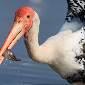 Painted stork by Saumitra Shukla - Animals Birds ( bird, stork, color, fish, wildlife, travel, close up, birds, closeup, animal )