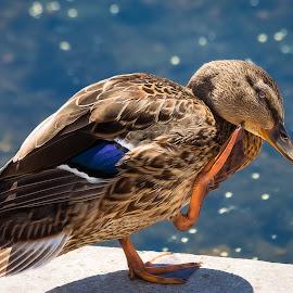 Mallard by Dave Lipchen - Animals Birds ( mallard )