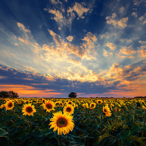 Hungarian skies pt.198. by Zsolt Zsigmond - Landscapes Prairies, Meadows & Fields ( sky, sunset, sunflowers, sunrays, summer, panorama,  )