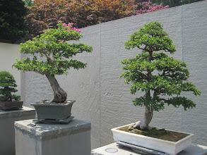 Photo: Bonsai kiállítás
