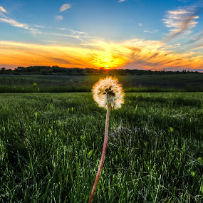 Lone Lion by Anna-Lee Nemchek Cappaert - Landscapes Prairies, Meadows & Fields ( field, lone lion, dandelion, sunset )