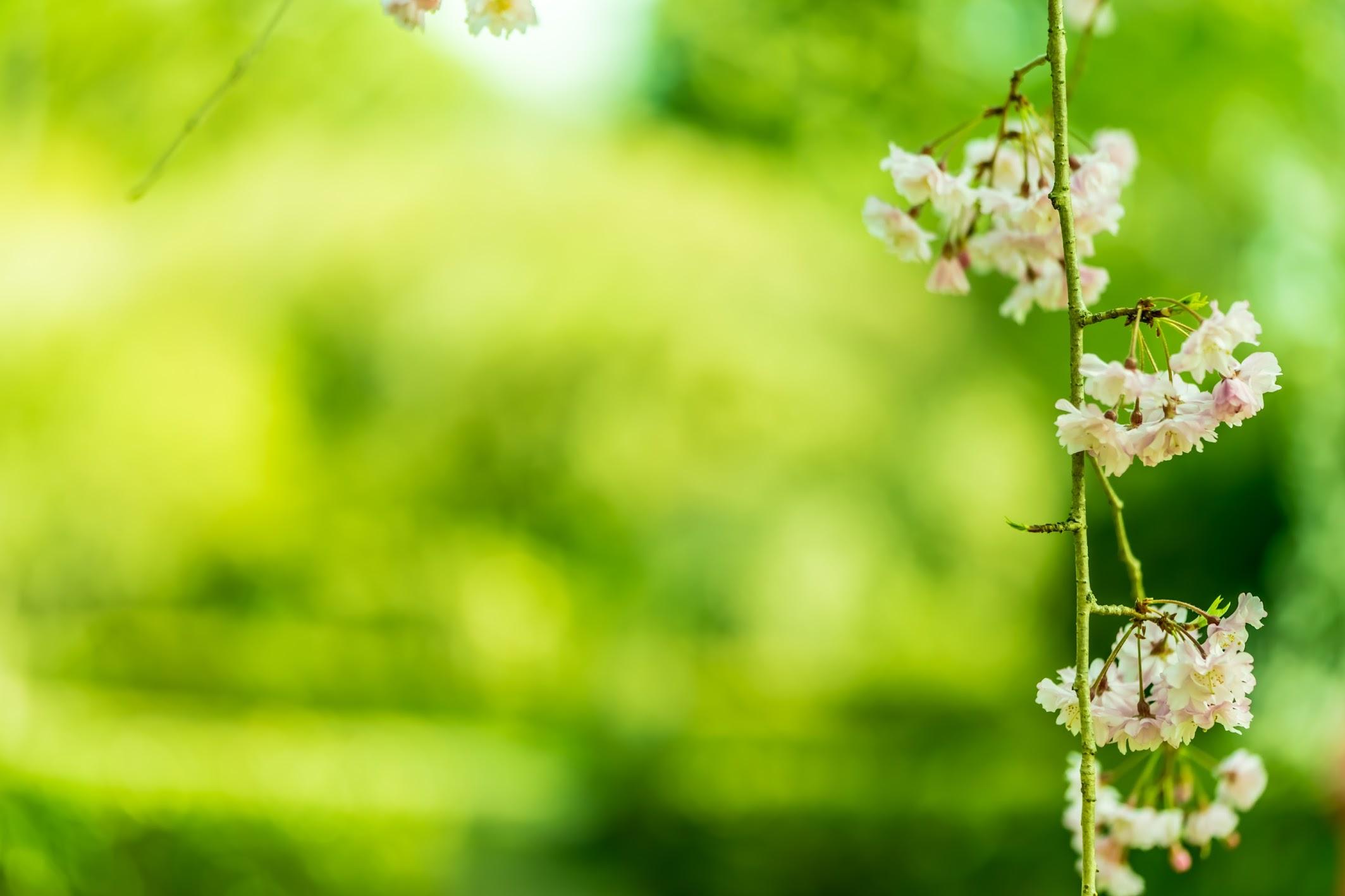 京都御苑 近衛邸跡 桜9