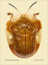 Photo: Charidotella tuberculata, 8,3mm, Costa Rica, La Cruz (11°07´/-83°36´), leg. Erwin Holzer, det. Lech Borowiec