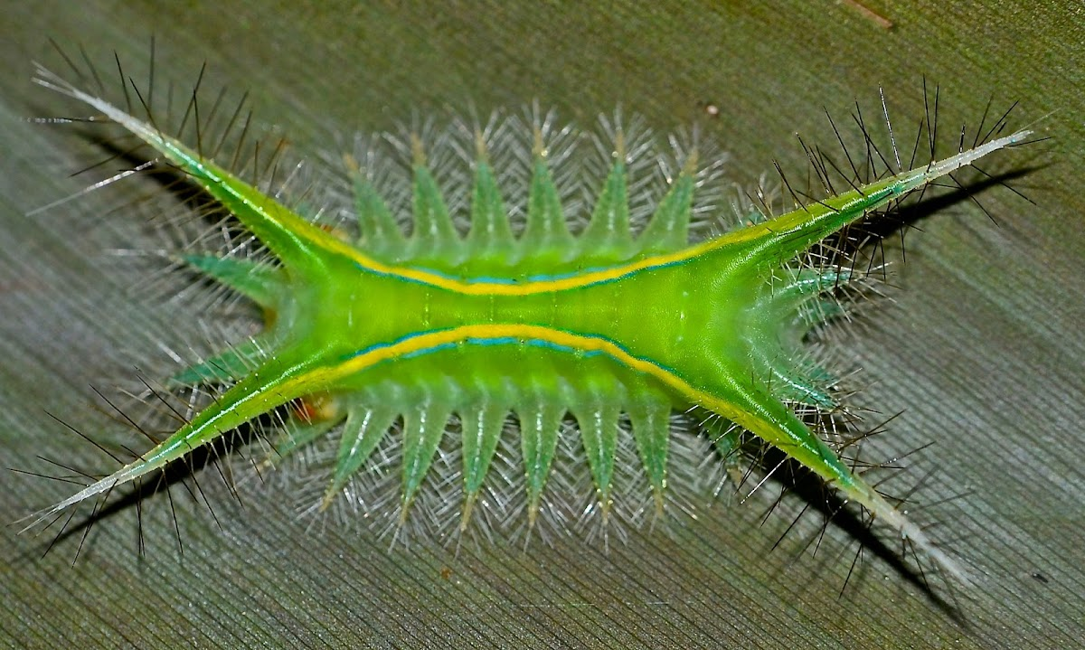 Moth,Caterpillar of Parasa joanae