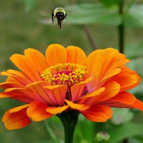Bee Above Orange Zinnia by Lynne Miller - Uncategorized All Uncategorized ( lynne miller, flower., maine, bee, orange zinnia )