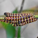 Redbase jezebel Caterpillar-s