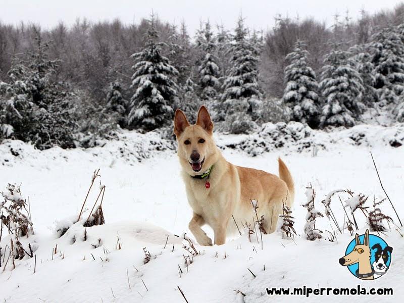 Senderismo con Perro O Cebreiro nieve y diversión bajo cero, Can de Palleiro, Border Collie