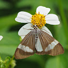 Asian Magpie Moth