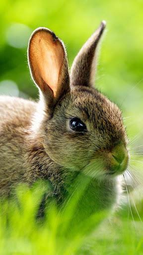 兔子動態壁紙